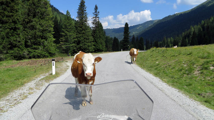 Alpine Adventure cow